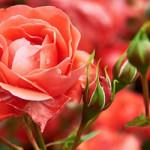 tuinplant_vd_maand_mei_rozen3-150x150