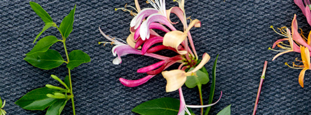 Kamperfoelie: tuinplant van de maand juni